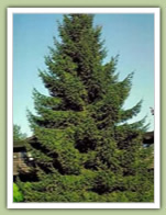 Evergreen Trees for Sale Aurora