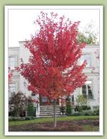 Autumn Blaze Maple (acer rubrum) - Caledon Treeland