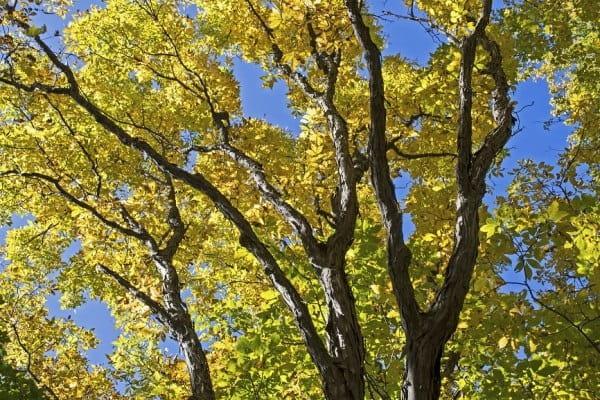 Autumn foliage on a maple tree