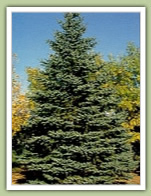 Colorado Spruce (picea pungens) - Royal Red Maple (acer platanoides) - Caledon Treeland
