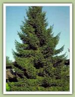 Norway Spruce Caledon Treeland