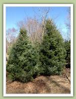 Serbian Spruce (picea omorika) - Caledon Treeland