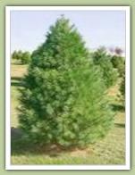 White Pine (pinus strobus) - Caledon Treeland