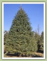 White Spruce - picea glauca - Caledon Treeland