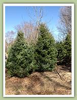 serbian-spruce