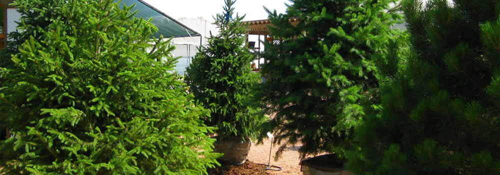 Trees for sale in Newmarket