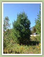 white pine - caledon treeland