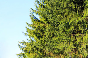 Here's Everything you Need to Know About Evergreen Trees