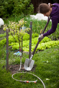 Tree transplanting tips and cautions