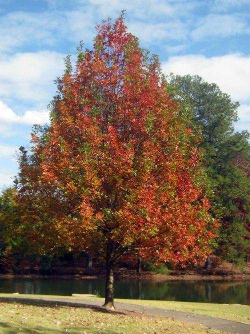what is a fast growing shade tree and how can it add to