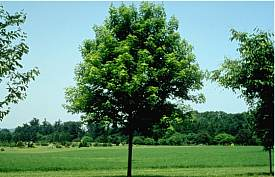 Facts about the Most Resourceful Trees to Grow in Canada