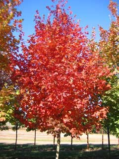Maple Tree for Sale - Caledon Treeland