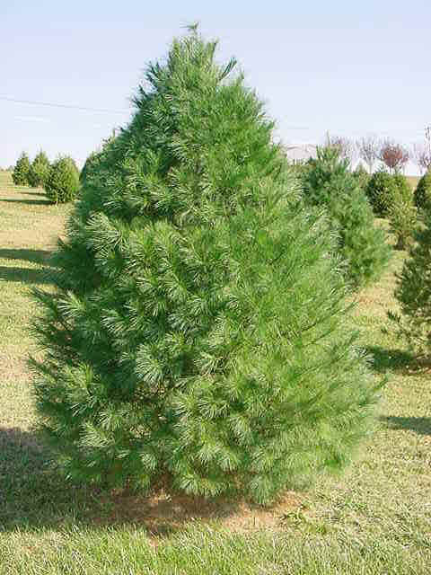 mature pine trees for sale