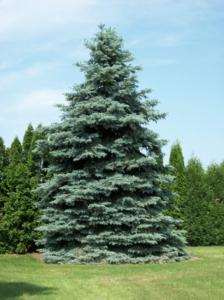 Spruce Tree Colorado