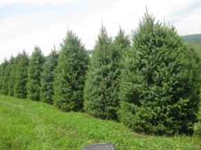Spruce Tree Serbian