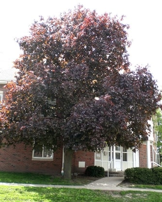 The Crimson King Norway Maple A Solid Shade Tree