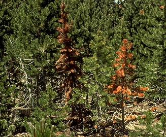 Attacking Armillaria Tree Root Rot