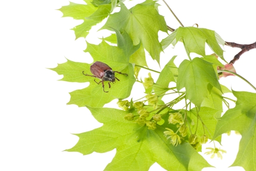 The Pollination Mechanism of the Maple Tree
