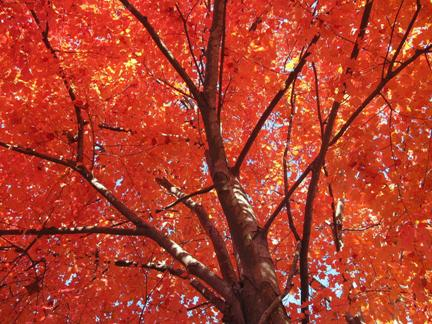 Curiosities of the Canada Red Maple Tree