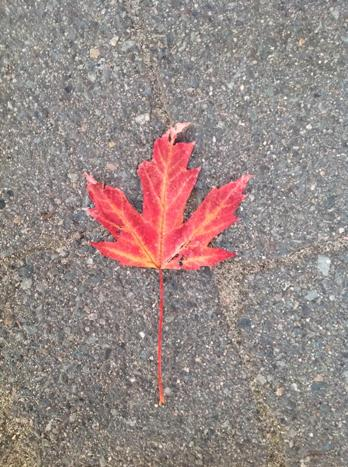 Four Easy Ways to Identify a Native Canadian Maple