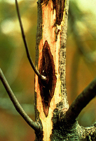 Identify and Manage Cytospora Cankers