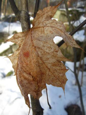 How To Identify Ash And Maple Trees In Winter