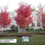 Maple Trees for sale