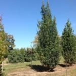 Ontario tree suppliers - Caledon Treeland