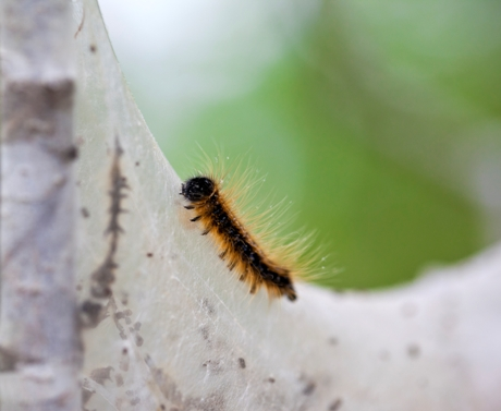 How to Get Rid of Maple Tree Caterpillars