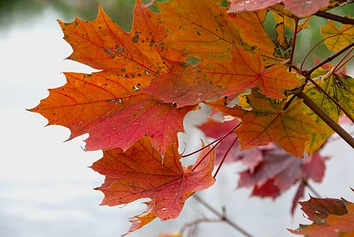 Identifying Insect Damage on Maple Trees